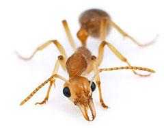 Как победить домашних муравьев ?