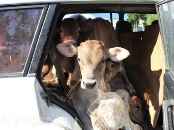 Задержаны подозреваемые всерии краж крупного рогатого скота игербицидов