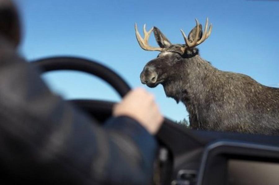 ВКурске наавтомобиль упал лось