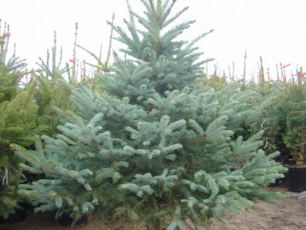 Курские полицейские раскрыли кражу высаженных наКавказской елок