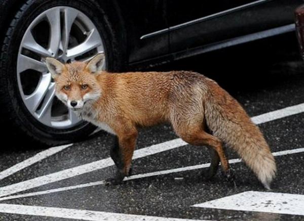 По Курчатову бегают лисы