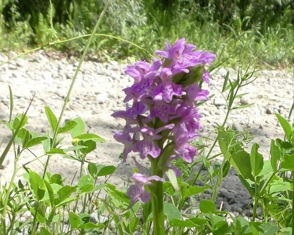 В Курской области цветут редкие орхидеи