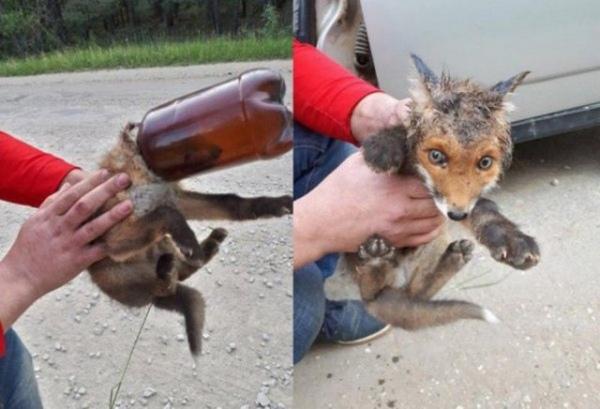 Куряне спасли лисенка, застрявшего головой в пластиковой бутылке