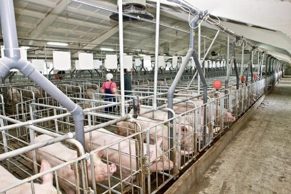 В Курчатовском районе за нарушения на 2 недели закрыли свиноводческую ферму