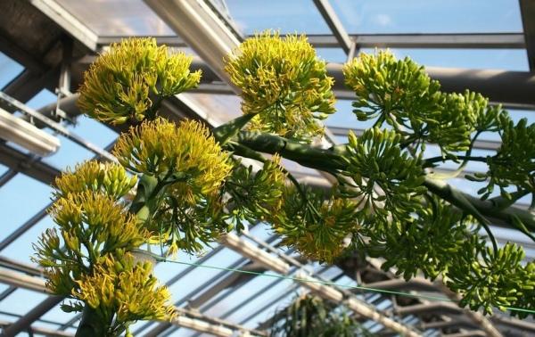 В Обояни впервые за 34 года зацвела агава