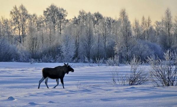 В Железногорском районе браконьер застрелил лосиху