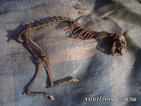 На первый взгляд может показаться, что останки принадлежат домашнему животному. Однако у находки нет передних конечностей, на спине – шипы...