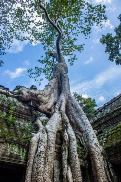 В храме Та Пром 300-летние деревья опутывают корнями древние стены