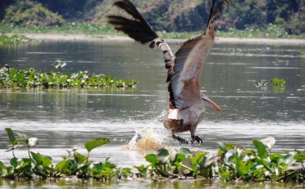 Пеликаны в биосферном резервате Прек Тоал на озере Тонлесап