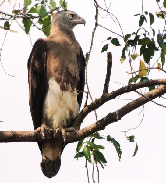 Сероголовый рыбный орел