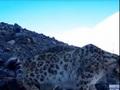 Курянин в составе экспедиции на Алтае встретил снежного барса (видео)