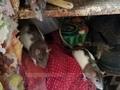 200 крыс хозяйничали в курской квартире